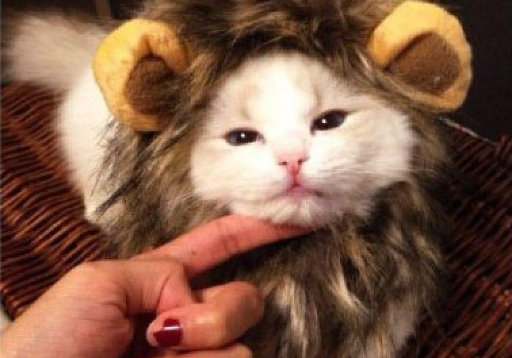 Cat Lion Mane Wig Irritated Kitty