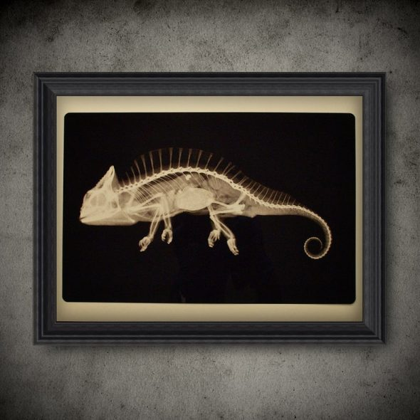 DeathChamberStudio Zoology Chameleon X-Ray Slide Transparent Poster