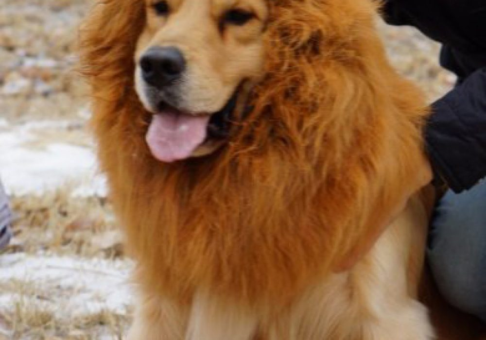 Dog Lion Mane Cool Gift Idea