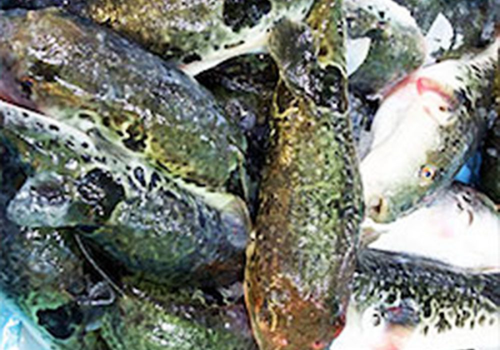 Dried Japanese Blowfish Delicacy Fugu