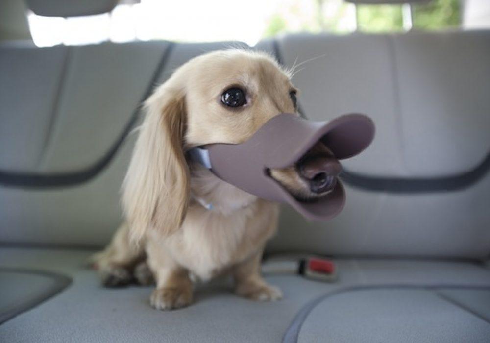 Duck Dog Muzzle Inside the Car