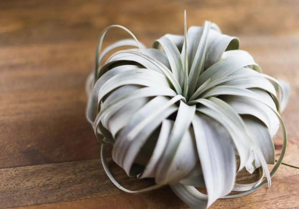 Hinterland Trading Air Plant Tillandsia Xerographica Exotic Flower to Buy