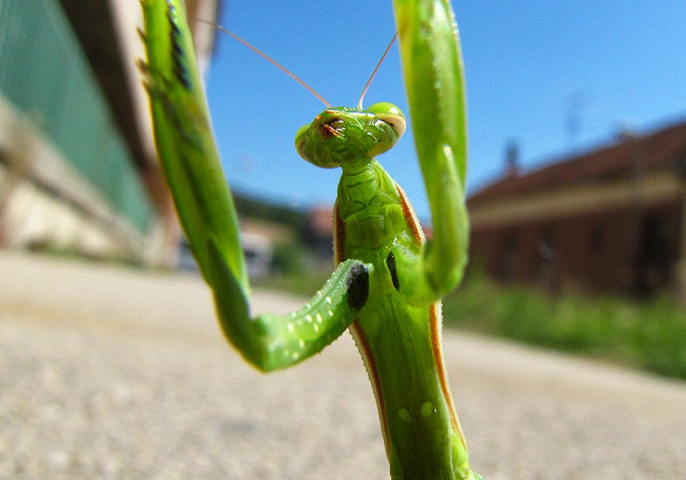 Insect Sales Live Chinese Praying Mantis Novelty