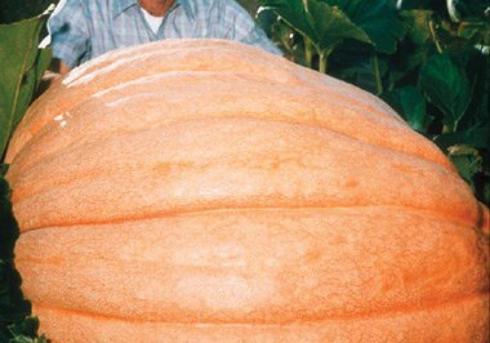 Pumpkin Dills Atlantic Giant Seeds Exotic Plants Halloween