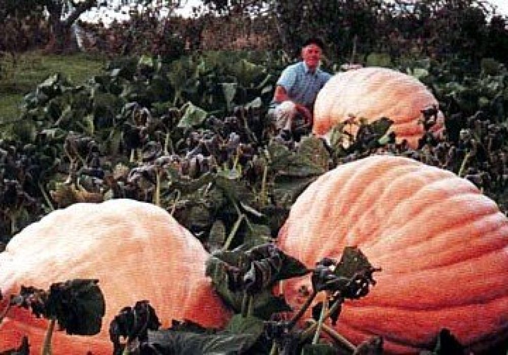 Pumpkin Dills Atlantic Giant Seeds Three Giant Pumpkins on a Farm