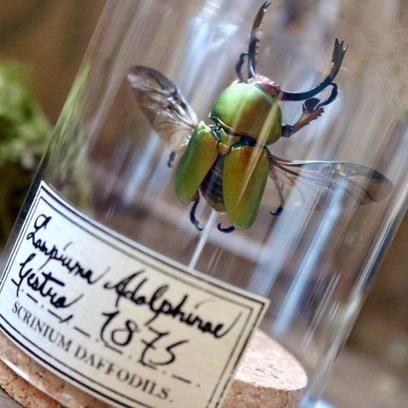 ScriniumDaffodils Green Beetle Lamprima Adolphinae Specimen